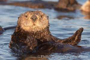 A sea otter resting, holding its paws out of the water to keep them warm and conserve body heat as it floats in cold ocean water. Elkhorn Slough National Estuarine Research Reserve, Moss Landing, California, USA, Enhydra lutris, natural history stock photograph, photo id 21650