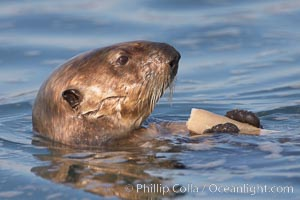 A sea otter eats a clam that it has taken from the shallow sandy bottom of Elkhorn Slough.  Because sea otters have such a high metabolic rate, they eat up to 30% of their body weight each day in the form of clams, mussels, urchins, crabs and abalone.  Sea otters are the only known tool-using marine mammal, using a stone or old shell to open the shells of their prey as they float on their backs, Enhydra lutris, Elkhorn Slough National Estuarine Research Reserve, Moss Landing, California