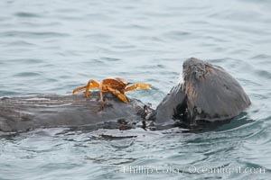Sea otter rests on the ocean surface while a crab stands on its abdomen.  The otter has just pulled the crab up off the ocean bottom and will shortly eat it. Monterey, Enhydra lutris