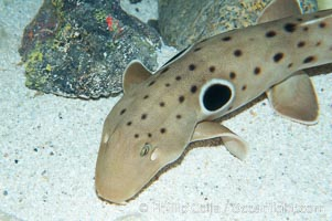 Epaulette shark.  The epaulette shark is primarily nocturnal, hunting for crabs, worms and invertebrates by crawling across the bottom on its overlarge fins, Hemiscyllium ocellatum