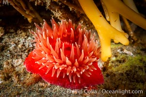 Brooding proliferating sea anemone. Santa Barbara Island, California, USA, Epiactis prolifera, natural history stock photograph, photo id 10160