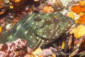 Unidentified fish, likely Epinephelus genus. Cousins, Galapagos Islands, Ecuador, Epinephelus, natural history stock photograph, photo id 16409