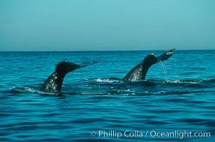 Gray whale, Eschrichtius robustus, Monterey, California