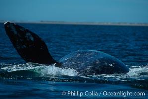 Gray whale rolling and lifting pectoral fin during courtship socialization, Laguna San Ignacio, Eschrichtius robustus, San Ignacio Lagoon