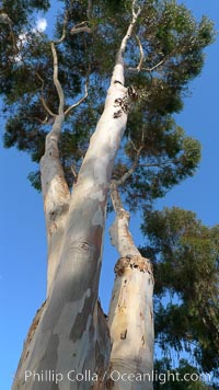 Eucalyptus tree, gum tree. Del Mar, California, USA, Eucalyptus, natural history stock photograph, photo id 21491