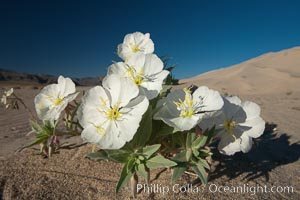 Eureka Valley Dune Evening Primrose.  A federally endangered plant, Oenothera californica eurekensis is a perennial herb that produces white flowers from April to June. These flowers turn red as they age. The Eureka Dunes evening-primrose is found only in the southern portion of Eureka Valley Sand Dunes system in Indigo County, California, Oenothera californica eurekensis, Oenothera deltoides, Death Valley National Park