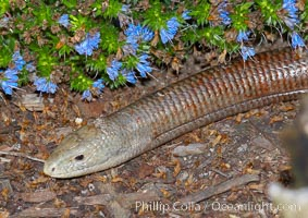 European glass lizard.  Without legs, the European glass lizard appears to be a snake, but in truth it is a species of lizard.  It is native to southeastern Europe, Pseudopus apodus