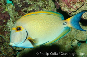 Eyestripe surgeonfish., Acanthurus dussumieri, natural history stock photograph, photo id 08717