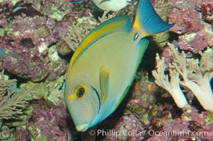 Image 08718, Eyestripe surgeonfish., Acanthurus dussumieri, Phillip Colla, all rights reserved worldwide. Keywords: acanthurus dussumieri, animal, color and pattern, eyestripe surgeonfish, fish, fish anatomy, indo-pacific, marine fish, stripe, surgeonfish, underwater.