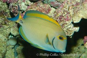 Eyestripe surgeonfish., Acanthurus dussumieri, natural history stock photograph, photo id 08720