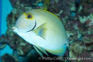 Eyestripe surgeonfish, Acanthurus dussumieri