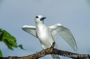 White (or fairy) tern. Rose Atoll National Wildlife Sanctuary, American Samoa, USA, Gygis alba, natural history stock photograph, photo id 00869