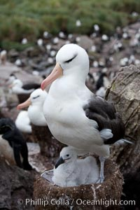Black-browed albatross, adult on nest with chick. Westpoint Island, Falkland Islands, United Kingdom, Thalassarche melanophrys, natural history stock photograph, photo id 23947
