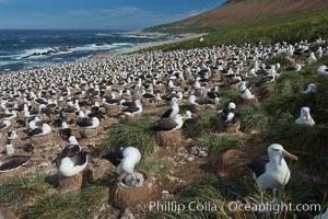 Black-browed albatross colony on Steeple Jason Island in the Falklands.  This is the largest breeding colony of black-browed albatrosses in the world, numbering in the hundreds of thousands of breeding pairs.  The albatrosses lay eggs in September and October, and tend a single chick that will fledge in about 120 days. Steeple Jason Island, Falkland Islands, United Kingdom, Thalassarche melanophrys, natural history stock photograph, photo id 24160