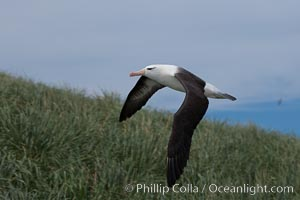 Black-browed albatross soaring in the air, near the breeding colony at Steeple Jason Island. Steeple Jason Island, Falkland Islands, United Kingdom, Thalassarche melanophrys, natural history stock photograph, photo id 24219