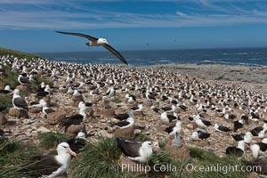 Black-browed albatross in flight, over the enormous colony at Steeple Jason Island in the Falklands. Steeple Jason Island, Falkland Islands, United Kingdom, Thalassarche melanophrys, natural history stock photograph, photo id 24223