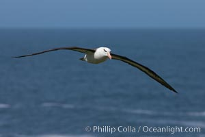 Black-browed albatross soaring in the air, near the breeding colony at Steeple Jason Island. Steeple Jason Island, Falkland Islands, United Kingdom, Thalassarche melanophrys, natural history stock photograph, photo id 24240
