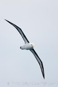 Black-browed albatross, in flight, Thalassarche melanophrys, Scotia Sea