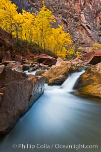 The Virgin River flows by autumn cottonwood trees, part of the Virgin River Narrows.  This is a fantastic hike in fall with the comfortable temperatures, beautiful fall colors and light crowds. Zion National Park, Utah, USA, natural history stock photograph, photo id 26096