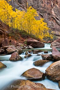 The Virgin River flows by autumn cottonwood trees, part of the Virgin River Narrows.  This is a fantastic hike in fall with the comfortable temperatures, beautiful fall colors and light crowds, Zion National Park, Utah