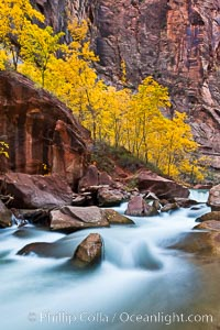 The Virgin River flows by autumn cottonwood trees, part of the Virgin River Narrows.  This is a fantastic hike in fall with the comfortable temperatures, beautiful fall colors and light crowds. Virgin River Narrows, Zion National Park, Utah, USA, natural history stock photograph, photo id 26116