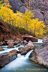 The Virgin River flows by autumn cottonwood trees, part of the Virgin River Narrows.  This is a fantastic hike in fall with the comfortable temperatures, beautiful fall colors and light crowds. Virgin River Narrows, Zion National Park, Utah, USA, natural history stock photograph, photo id 26118