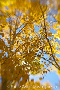 Quaking aspens turn yellow and orange as Autumn comes to the Eastern Sierra mountains, Bishop Creek Canyon. Bishop Creek Canyon, Sierra Nevada Mountains, Bishop, California, USA, Populus tremuloides, natural history stock photograph, photo id 17569