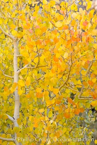Aspen trees display Eastern Sierra fall colors, Lake Sabrina, Bishop Creek Canyon. Bishop Creek Canyon, Sierra Nevada Mountains, California, USA, Populus tremuloides, natural history stock photograph, photo id 17572