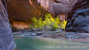 Flowing water and fall cottonwood trees, along the Virgin River in the Zion Narrows in autumn. Virgin River Narrows, Zion National Park, Utah, USA, natural history stock photograph, photo id 26140