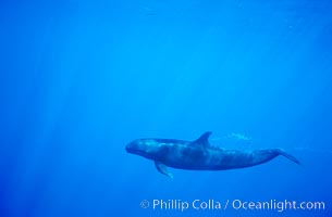 False killer whale, Pseudorca crassidens, Lanai