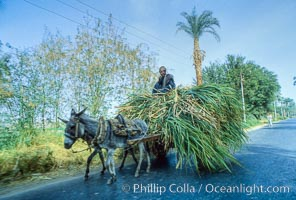 Farmer, donkey and cart, Luxor, Egypt