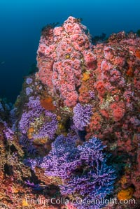 Submarine Reef with Hydrocoral and Invertebrates, Farnsworth Banks, Catalina Island