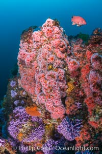 Submarine Reef with Hydrocoral and Corynactis Anemones, Farnsworth Banks, Catalina Island. California, USA, natural history stock photograph, photo id 34170