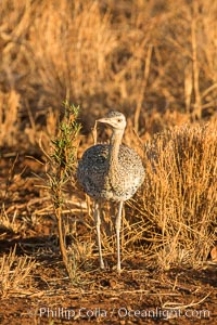 Female black-bellied bustard, Meru National Park, Kenya, Lissotis melanogaster