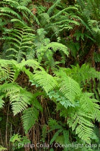 Ferns grow in the lush temperate rainforest of the Columbia River Gorge, Columbia River Gorge National Scenic Area, Oregon