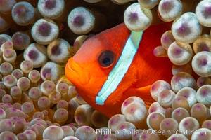 Fiji Barberi Clownfish, Amphiprion barberi, hiding among anemone tentacles, Fiji, Amphiprion barberi, Namena Marine Reserve, Namena Island