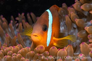 Fiji Barberi Clownfish, Amphiprion barberi, hiding among anemone tentacles, Fiji, Amphiprion barberi