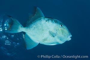 Finescale triggerfish underwater, Sea of Cortez, Baja California, Mexico, Balistes polylepis