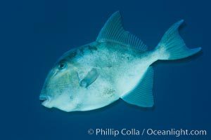Finescale triggerfish underwater, Sea of Cortez, Baja California, Mexico, Balistes polylepis