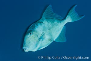 Finescale triggerfish underwater, Sea of Cortez, Baja California, Mexico. Sea of Cortez, Baja California, Mexico, Balistes polylepis, natural history stock photograph, photo id 27489