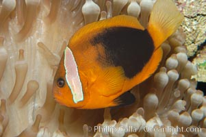 Fire clownfish., Amphiprion melanopus, natural history stock photograph, photo id 08826