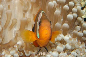 Fire clownfish., Amphiprion melanopus, natural history stock photograph, photo id 08827