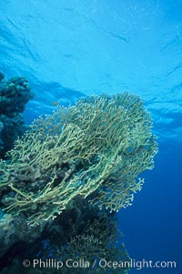 Fire corals on coral reef, Northern Red Sea, Egyptian Red Sea