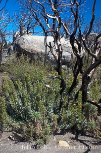 Fire damage on Stonewall Peak.  After the historic Cedar fire of 2003, much of the hills around Julian California were burnt.  One year later, new growth is seen amid the burnt oak trees and chaparral. Stonewall Peak, Julian, California, USA, natural history stock photograph, photo id 12707