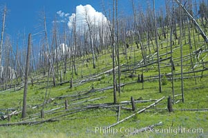 Yellowstones historic 1988 fires destroyed vast expanses of forest. Here scorched, dead stands of lodgepole pine stand testament to these fires, and to the renewal of these forests. Seedling and small lodgepole pines can be seen emerging between the dead trees, growing quickly on the nutrients left behind the fires. Southern Yellowstone National Park. Wyoming, USA, natural history stock photograph, photo id 13636