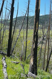 Yellowstones historic 1988 fires destroyed vast expanses of forest. Here scorched, dead stands of lodgepole pine stand testament to these fires, and to the renewal of these forests. Seedling and small lodgepole pines can be seen emerging between the dead trees, growing quickly on the nutrients left behind the fires. Southern Yellowstone National Park