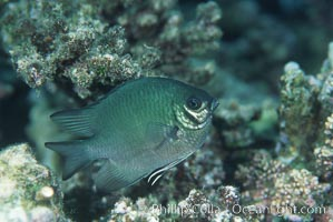 Unidentified fish. Egyptian Red Sea, natural history stock photograph, photo id 05232