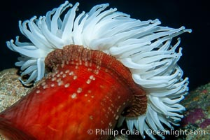 Fish-eating anemone, Urticina piscivora