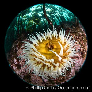 The Fish Eating Anemone Urticina piscivora, a large colorful anemone found on the rocky underwater reefs of Vancouver Island, British Columbia. Canada, Urticina piscivora, natural history stock photograph, photo id 35249