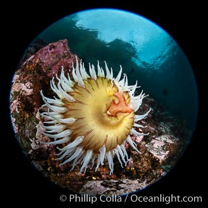 The Fish Eating Anemone Urticina piscivora, a large colorful anemone found on the rocky underwater reefs of Vancouver Island, British Columbia. British Columbia, Canada, Urticina piscivora, natural history stock photograph, photo id 35282